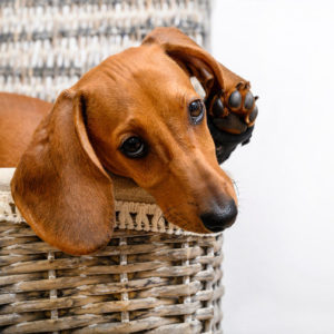 Intervertebral Disc Disease on Dachshunds can treatment by chiropractic care